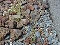 Starr 001101-0042 Lobularia maritima.jpg