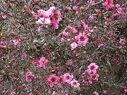 Starr 010419-0042 Leptospermum scoparium.jpg