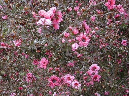 Starr 010419-0042 Leptospermum scoparium