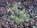 Starr 030202-0078 Leucaena leucocephala.jpg