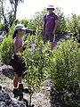 Starr 040131-0039 Santalum freycinetianum var. lanaiense.jpg