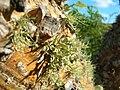 Starr 050208-3890 Erythrina sandwicensis.jpg