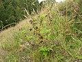 Starr 050816-3660 Pelargonium capitatum.jpg