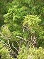 Starr 050816-7425 Smilax melastomifolia.jpg