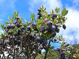 English: Vaccinium reticulatum (blue berries)....
