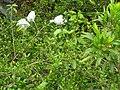 Starr 060325-6767 Melicope adscendens.jpg