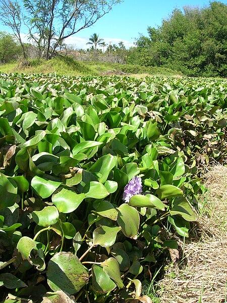 File:Starr 060714-8383 Eichhornia crassipes.jpg