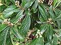 Starr 061205-1874 Eriobotrya japonica.jpg