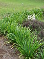 Starr 070308-5367 Agapanthus praecox subsp. orientalis.jpg