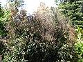 Starr 070403-6396 Syzygium jambos.jpg