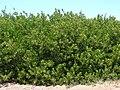 Starr 070404-6626 Conocarpus erectus.jpg