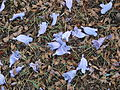 Starr 070519-7139 Jacaranda mimosifolia.jpg