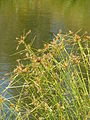 Starr 080612-8609 Cyperus polystachyos.jpg