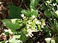 Starr 080812-9682 Psydrax odorata.jpg