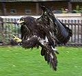 Steppe Eagle 3 (5087145954).jpg