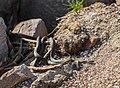 Steppe rat snakes.jpg