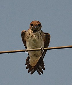 Streak-throated Swallow.jpg