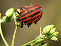 Striped Shield Bug (15980235925).jpg