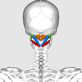 Suboccipital muscles01.png