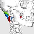 Suboccipital triangle09.png