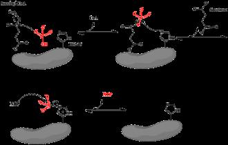 Succinyl coenzyme A synthetase - Mechanism for the reaction catalyzed by Succinyl-CoA Synthetase.