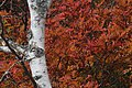 Sumac and Birch (?) (8058327976).jpg