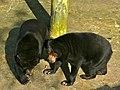 Sun Bears (Helarctos malayanus euryspilus) (6989988976).jpg