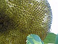 Sunflower Seedhead Close-up.jpg