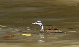 Sungrebe - Image: Sungrebe