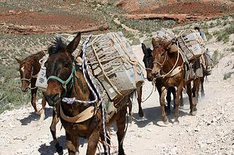 Supai, Arizona - Mule train from Supai carrying U.S. Postal Service boxes