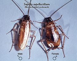 Supella supellectilium cdc.jpg