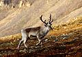 120px-Svalbardrein_pho