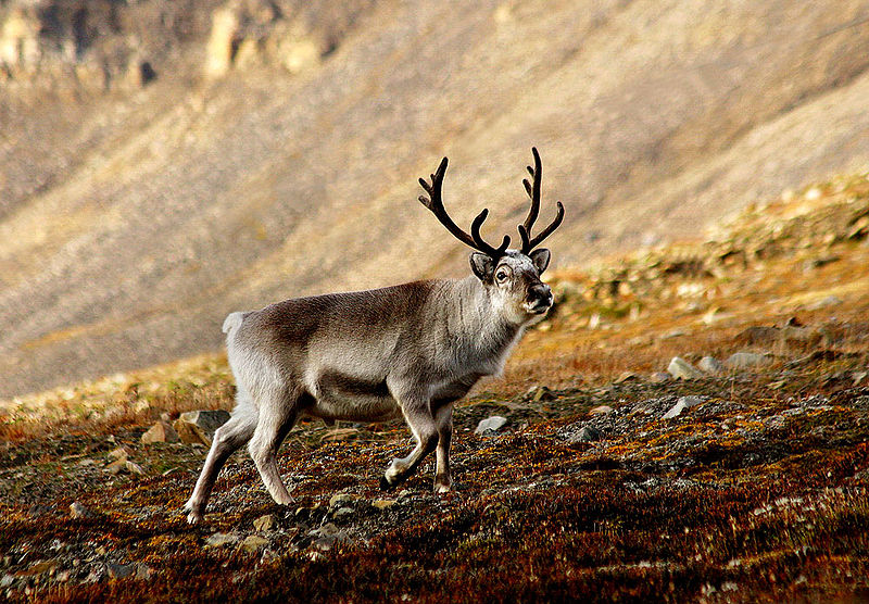 Reindeer.  Image credit: Perhols (CC-BY).