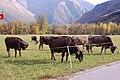 Swiss cow herd.jpg