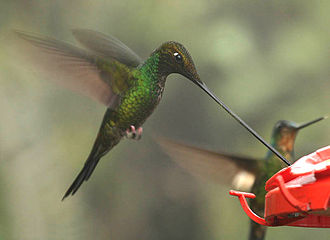 Passiflora - The sword-billed hummingbird (Ensifera ensifera) is adapted to feed on Passiflora mixta and similar flowers.