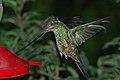 Sword-billed Hummingbird (Ensifera ensifera) 2015-06-16 (6) (38520254270).jpg