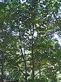 Syringa reticulata 6zz.jpg