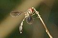 Syrphidae-Wynaad.jpg