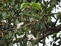 Syzygium ¿ species ? (5595265911).jpg