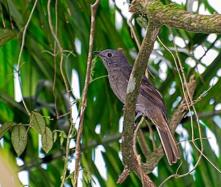 Cinnamon-vented piha species of bird