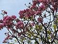 Tabebuia impetiginosa-1-cubbon park-bangalore-India.jpg