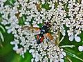 Tachinidae - Clairvillia biguttata.JPG