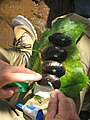Tagging mussels (7008974195).jpg