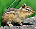 Tamias striatus (eastern chipmunk) (Newark, Ohio, USA) (33864949338).jpg