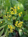 Tanacetum balsamita (15158676427).jpg