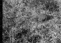 Tanrak (Centetes ecaudatus) förstoras 2 1-2 gång - SMVK - 021789.tif