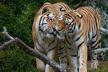 San Francisco Zoo tiger attacks - Wikipedia