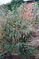 Tatton Park 2015 49 - Garrya elliptica.jpg