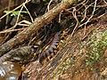 Tausendfüßler Nationalpark Tai.jpg