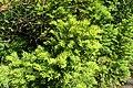 Taxus canadensis kz01.jpg